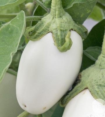 aubergine clara F1