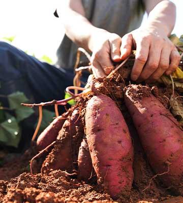 Récolte de la patate douce