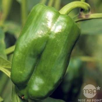poivron vert lamuoy