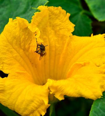 fleur de courges