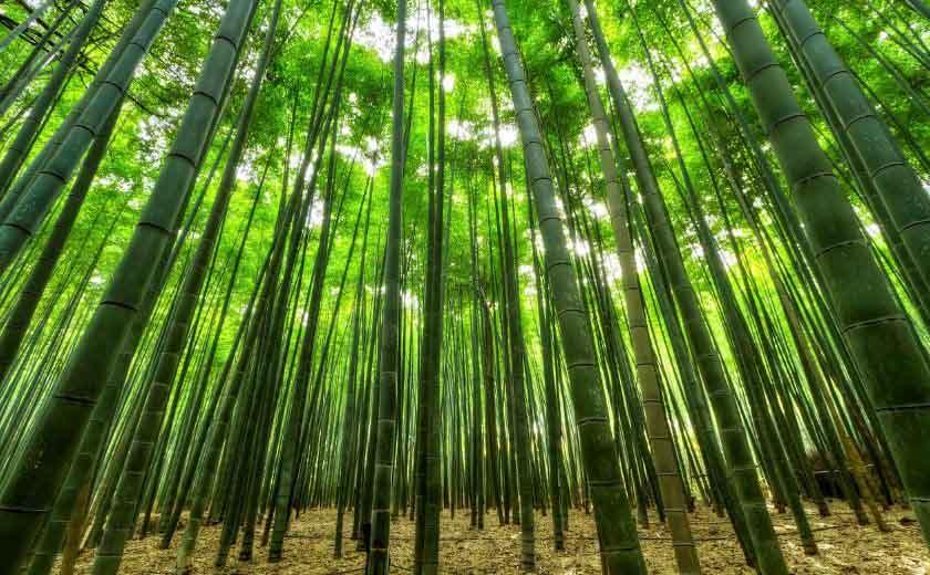 entretenir des bambous