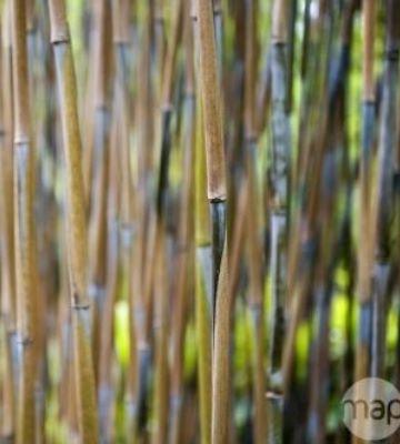 bambou fargesia nitida great wall