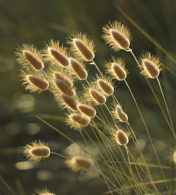 Fleurs de graminées