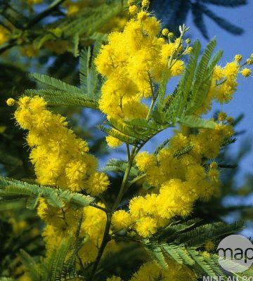 mimosa gaulois