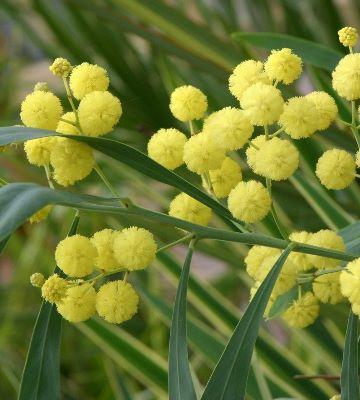 acacia floribunda