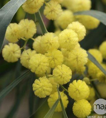 acacia retinodes palme or
