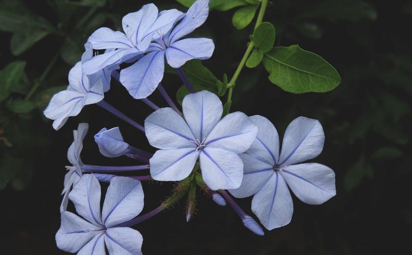 fleur plumbago auriculata