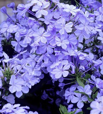 plumbago auriculata dark blue