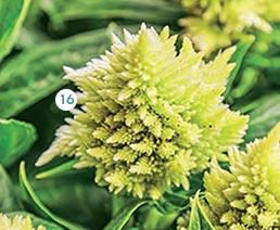 16. Célosie : barquette de 10 plants (36744) 7,95 €