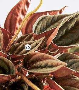 25. Peperomia Plusieurs variétés en pot Ø 14 cm : 'Arifolia', 'Red luna', 'Mendoza' ou 'Quito' (870233 à 236)