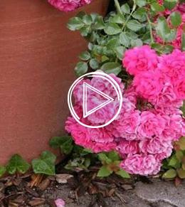 Comment et quand planter un rosier ?