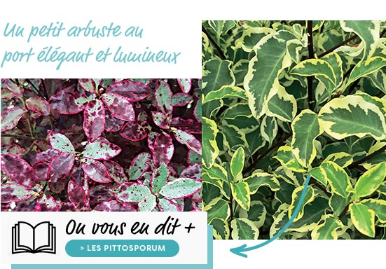 Les pittosporum