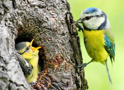 L'arbre indispensable pour les oiseaux