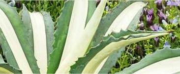 Agave : variétés, plantation et entretien