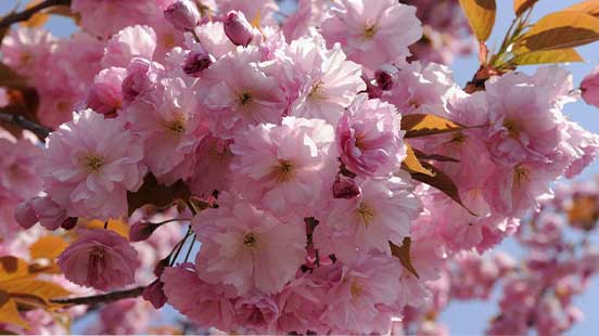 Cerisier du Japon : variétés, plantation et entretien