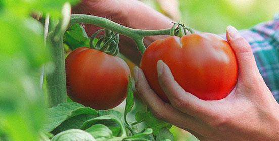 Graines de tomates