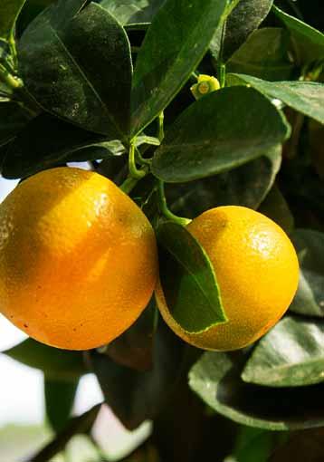 Calamondin : variétés et plantation