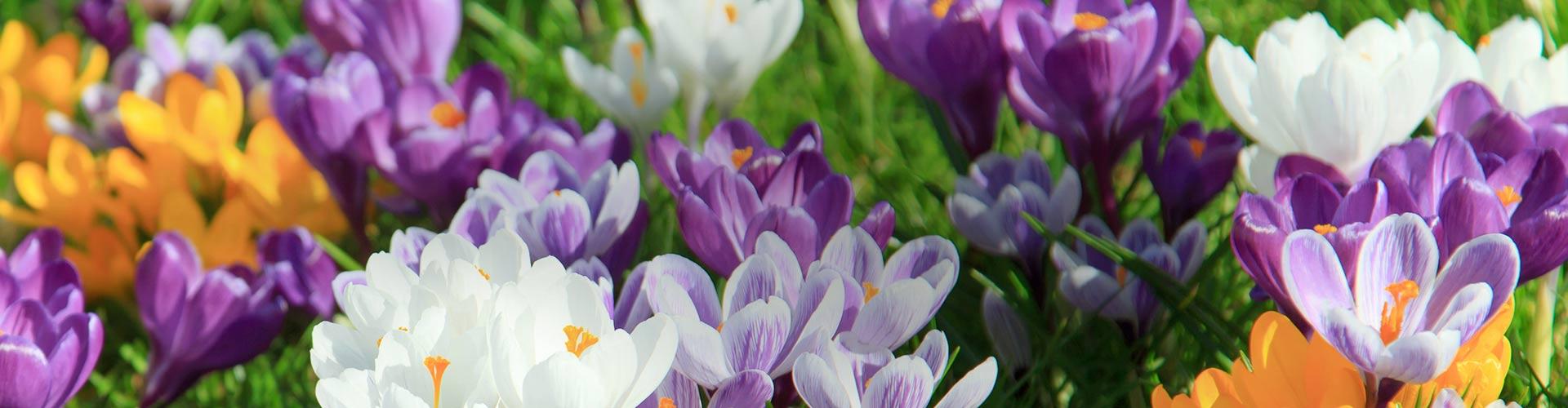 Les bulbes : plantez-les aujourd'hui